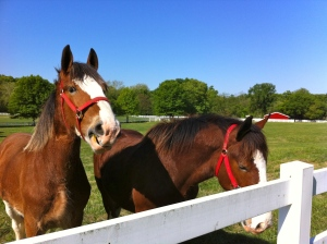 Clydesdales!