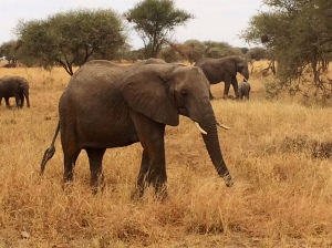 Tarangire has more elephants than anywhere in the world- over 3,000
